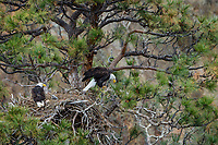 Bald Eagle Nest (Haliaeetus leucocephalus)--adults with ten to twelve day old eaglet in tall ponderosa pine tree.  Oregon.  April.