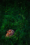 Fawn lies where it was born in tall grass with the morning sun kissing the scene.