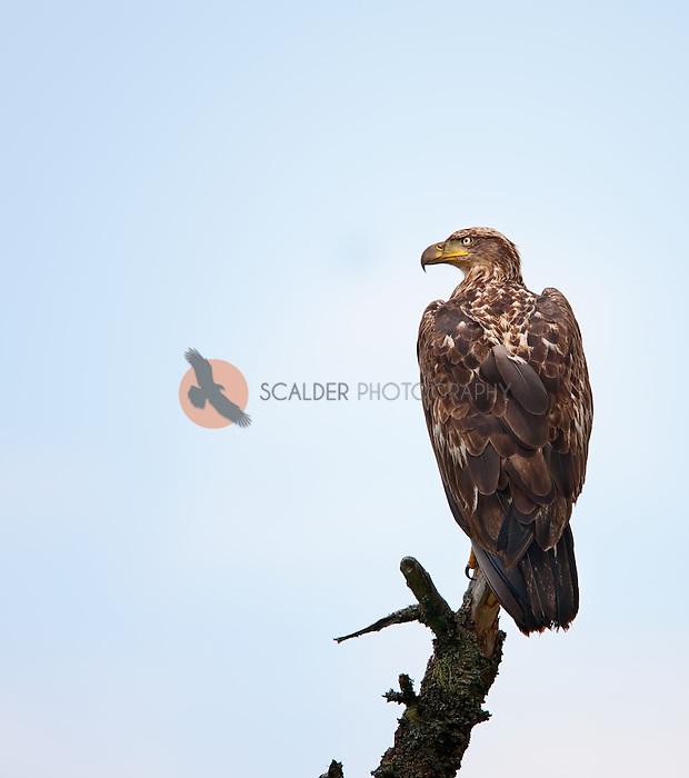 Juvenile Bald Eagle perched on a dead tree top