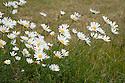 Ox-eye Daisy (Leucanthemum vulgare), mid June. Also known as Marguerite Moon Daisy.
