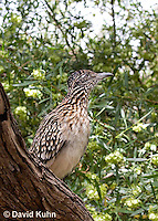 0610-1104  Greater Roadrunner (Chaparral Cock or Ground Cuckoo), Geococcyx californianus  © David Kuhn/Dwight Kuhn Photography
