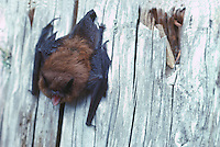 Little Brown Bat (Myotis lucifugus) hanging upside down on Tree Stump, BC, British Columbia, Canada
