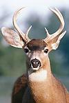 Key deer, The Keys, Florida, USA