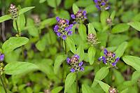 Gewöhnliche Braunelle, Kleine Braunelle, Kleine Brunelle, Prunella vulgaris, Self Heal, common self-heal, heal-all