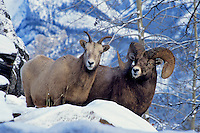 Rocky Mountain Bighorn Sheep Ewe & Ram.  Canadian Rockies.  Winter.