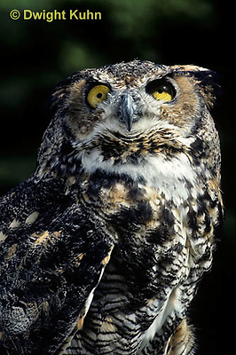 OW06-061z  Great horned owl - Bubo virginianus