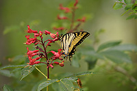 Eastern Tiger Swallowtail (Papilio glaucus) adult feeding on Red Buckeye (Aesculus pavia), Palmetto State Park, Hill Country, Central Texas, USA