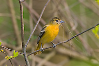Female Baltimore Oriole or Northern Oriole (Icterus galbula) with nesting material.  Great Lakes Region.  Spring.