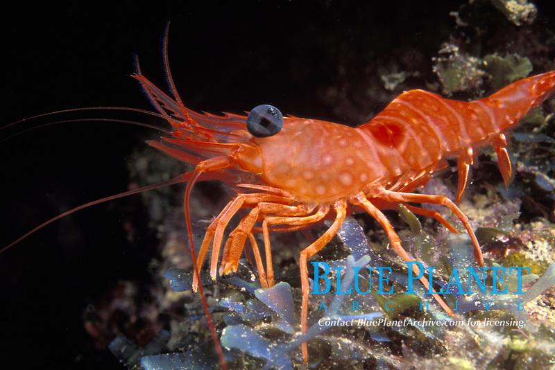 red night shrimp, Rhynchocinetes rigens, Bahamas