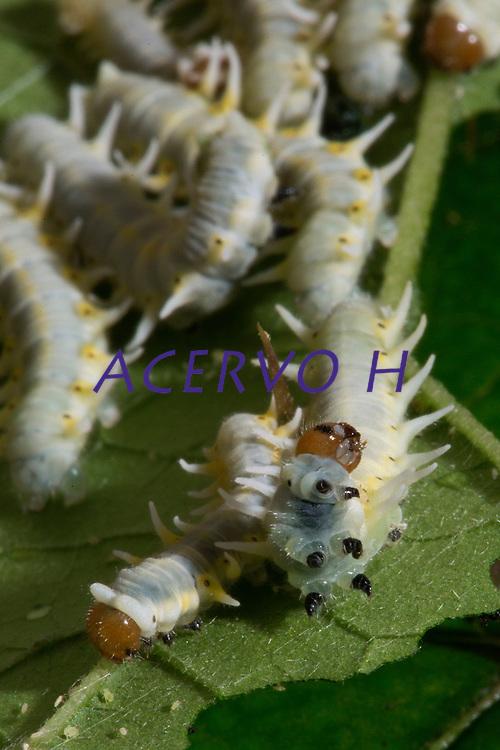 Lagarta fotografada em quintal nos arredores da cidade de Belem<br /> <br /> Lagarta- Mechanitis polymnia casabranca (Haensch, 1905) <br /> Família: Nymphalidae (borboleta). <br /> Uma das borboletas mais comuns, ocorrendo em quase todo o Brasil. Voa durante os doze meses do ano, lentamente e próxima ao solo, em locais sombreados e úmidos ou em clareiras e bordas das matas, à procura das flores das plantas do gênero Eupatorium (Asteraceae). <br /> A espécie é muito mansa, sendo criada facilmente em borboletários, desde que suas condições diversificadas de alimentação sejam providas.