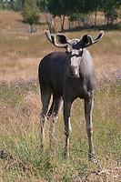 Elch, Bulle, junges Männchen, Elch-Bulle, Schaufler, Alces alces, Elk, Elan