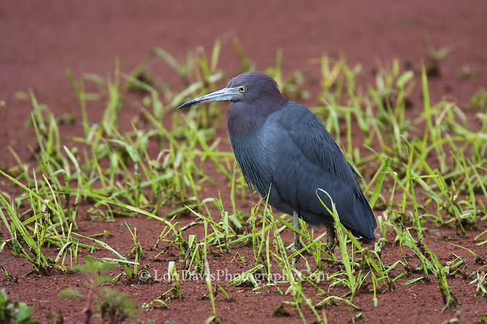 Little Blue Heron Mud Flat  #H33
