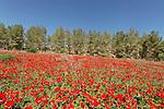 Israel, the Shephelah. Springtime in Amatzia forest