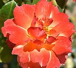 Holiday Roses