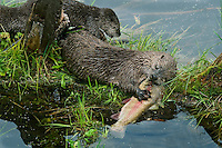 Northern River Otter (Lontra canadensis) mom eats a rainbow trout while her young pups try to snatch a bite--they were still mostly nursing at this stage though certainly interested in the fish.  Western U.S., summer..