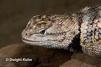 1R19-524z  Desert Spiny Lizard, Sceloporus magister