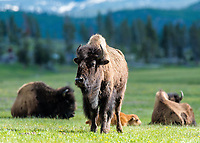 """""""Mountain Bison""""  Yellowstone National Park  Lower Geyser Basin 
