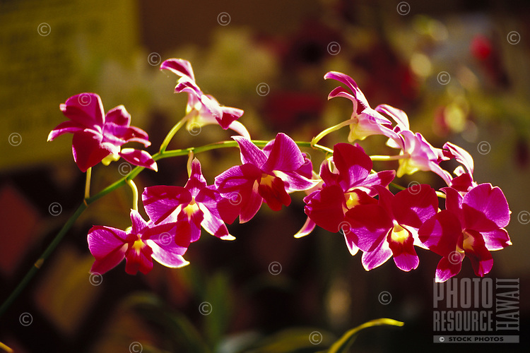 Close up of vanda orchids