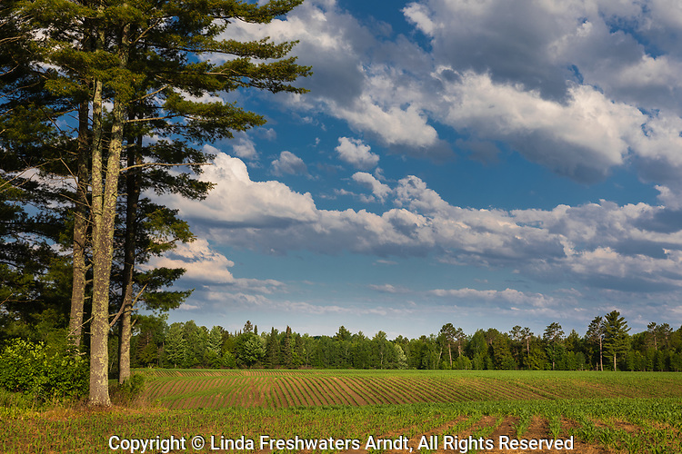 Corn field in northern Wisconsin.