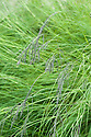 African love grass (Eragrostis curvula), early July.