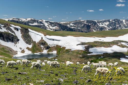 Mountain Goats roaming the Beartooth Mountains