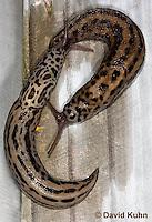 0103-0901  Great Grey Slug, Mating Courtship, Limax maximus, Virginia © David Kuhn/Dwight Kuhn Photography