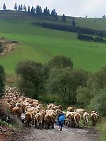 Schafherde bei Dobsina, Kosicky kraj, Slowakei, Europa<br /> flock of sheep near Dobsina, Kosicky kraj, Slovakia, Europe