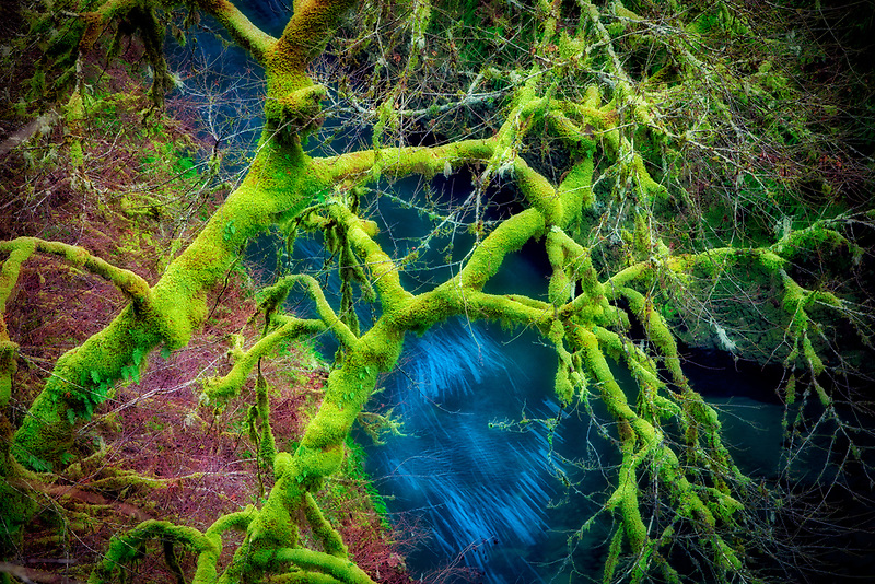 Moss on maple tree with Eagle Creek. Columbia River Gorge National Scenic Area, Oregon