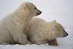 Two polar bear cubs lay together in the snow.