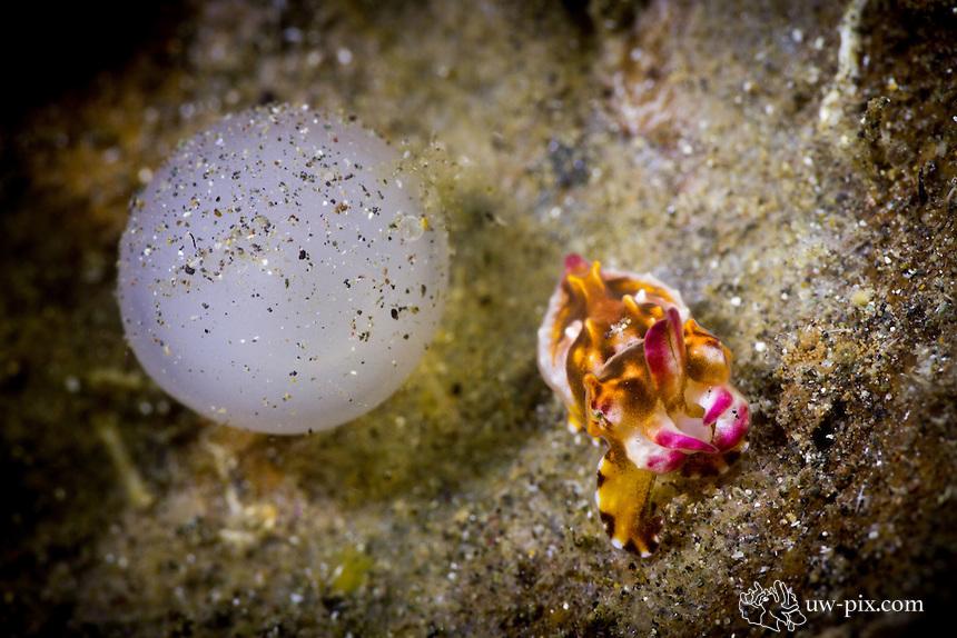 Newborn Baby Flamboyant Cuttlefish (Metasepia pfefferi) with egg just hatched