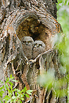 Great horned owlets perch in the hollow of a black cottonwood tree in Grand Teton National Park, Wyoming.