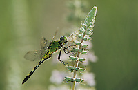 Eastern Pondhawk, Erythemis simplicicollis, female with prey on American Germander(Teucrium canadense), Welder Wildlife Refuge, Sinton, Texas, USA, May 2005