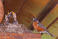 American Robin, Turdus migratorius, male with young on nest at Log Cabin, Glacier National Park, Montana, USA, July 2007