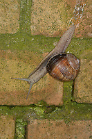 Weinbergschnecke, Weinberg-Schnecke, kriecht über eine Mauer, Steinmauer, Helix pomatia, Roman snail, escargot, escargot snail, edible snail, apple snail, grapevine snail, vineyard snail, vine snail