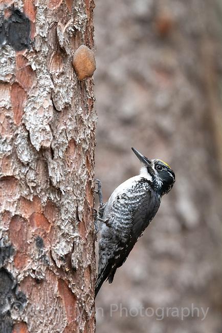 American Three-toed Woodpecker (Picoides dorsalis). Deschutes County, Oregon. May.