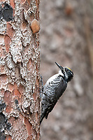 American Three-toed Woodpecker (Picoides dorsalis). Deschutes County, Oregon. May.