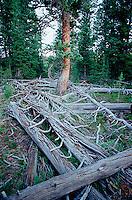 Felled trees around standing tree<br />