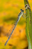 Eastern Forktail (Ischnura verticalis) Damselfly - Male-like Female, Pharaoh Lake Wilderness Area, Ticonderoga, Essex County, New York