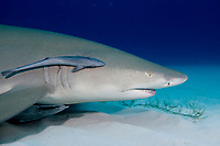 Lemon shark, Negaprion brevirostris, Bahamas, Caribbean, Atlantic