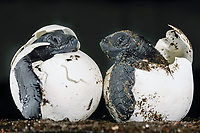 These hatchlings in eggs of an olive ridley sea turtle, Lepidochelys olivacea, should be buried and protected under 40 centimetre of warm sand, but a domestic dog dug them out at Ostional beach in Costa Rica. It takes nearly two months for a sea turtle egg to develop in a perfect little marine reptile.