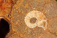 A close view by macro of the central parte of a fossil shell, probably an ammonite, with its characteristic spiral pattern (Rome, 2020).<br /> <br /> Una dettagliata immagine con il macro della parte centrale di una conchiglia fossile, probabilmente un'ammonite, con il suo caratteristico disegno a spirale (Roma, 2020).
