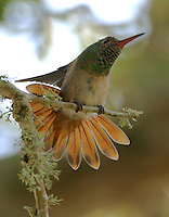 Buff-bellied hummingbird stretching
