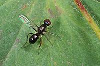Schwingfliege, Fäulnis-Schwingfliege, Themira putris, Themira pilosa, sepsid fly, Sepsidae, Schwingfliegen, sepsid flies