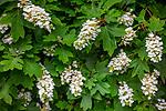 Vashon-Maury Island, WA: Oakleaf Hydrangea blossoms