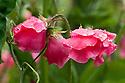 Sweet pea 'Rosie', mid June.