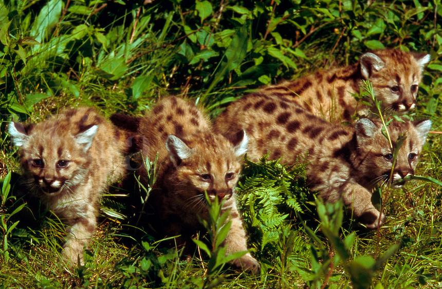 Four 4-week old mountain lion cubs walking through grass.