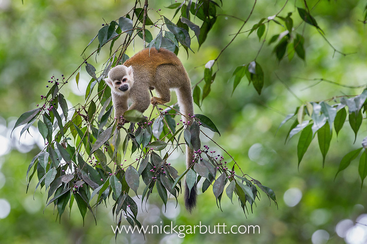 Common Squirrel Monkey (Saimiri sciureus olivaceous) feeding in rainforest conopy. Bavaria Private Reserve near Villavicencio, lower eastern slopes of the Andes, Colombia.
