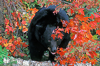 Black Bear in eastern North American forest.  Fall.