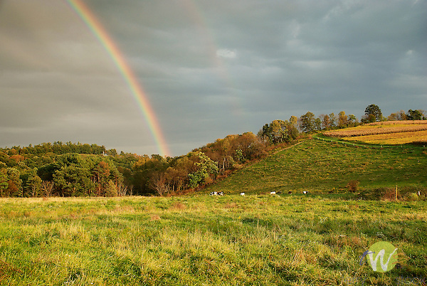 Cows standing at rainbow's end