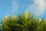 Agavaceae